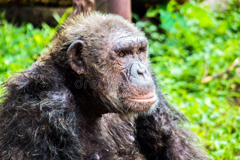 Chimpanzee monkey at zoo. Close up chimpanzee monkey eating bread on rock at zoo stock photos