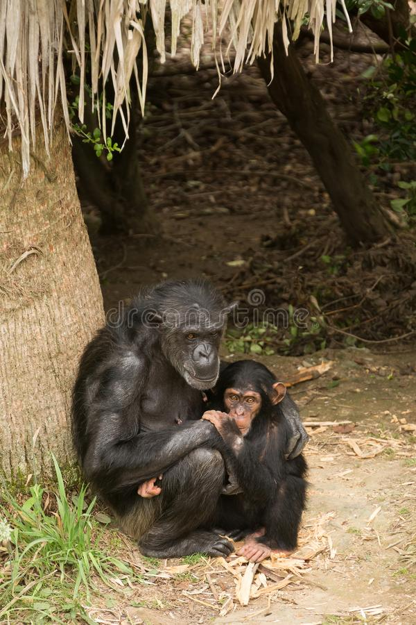 Chimpanzee mother and her baby royalty free stock photos