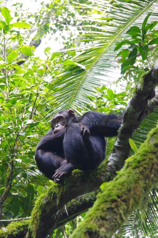Free Chimpanzee On A Tree In Uganda Royalty Free Stock Image - 113295626