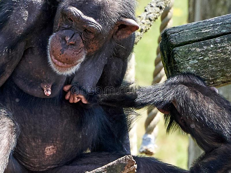 Chimpanzee mothe with little baby royalty free stock images