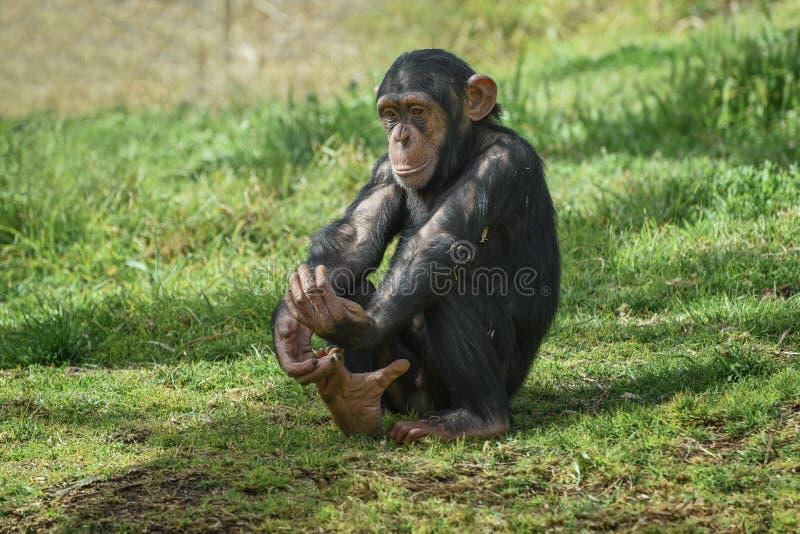 Chimpanzee, Pan troglodytes, common chimpanzee, robust chimpanzee, chimp with coarse black hair, bare face, toes, palms of the. Chimpanzee, Pan troglodytes royalty free stock photo