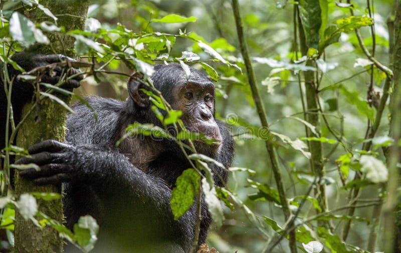 Chimpanzee ( Pan troglodytes ) in the jungle. Close up portrait of chimpanzee ( Pan troglodytes ) resting in the jungle. Natural habitat. Kibale forest in stock photo