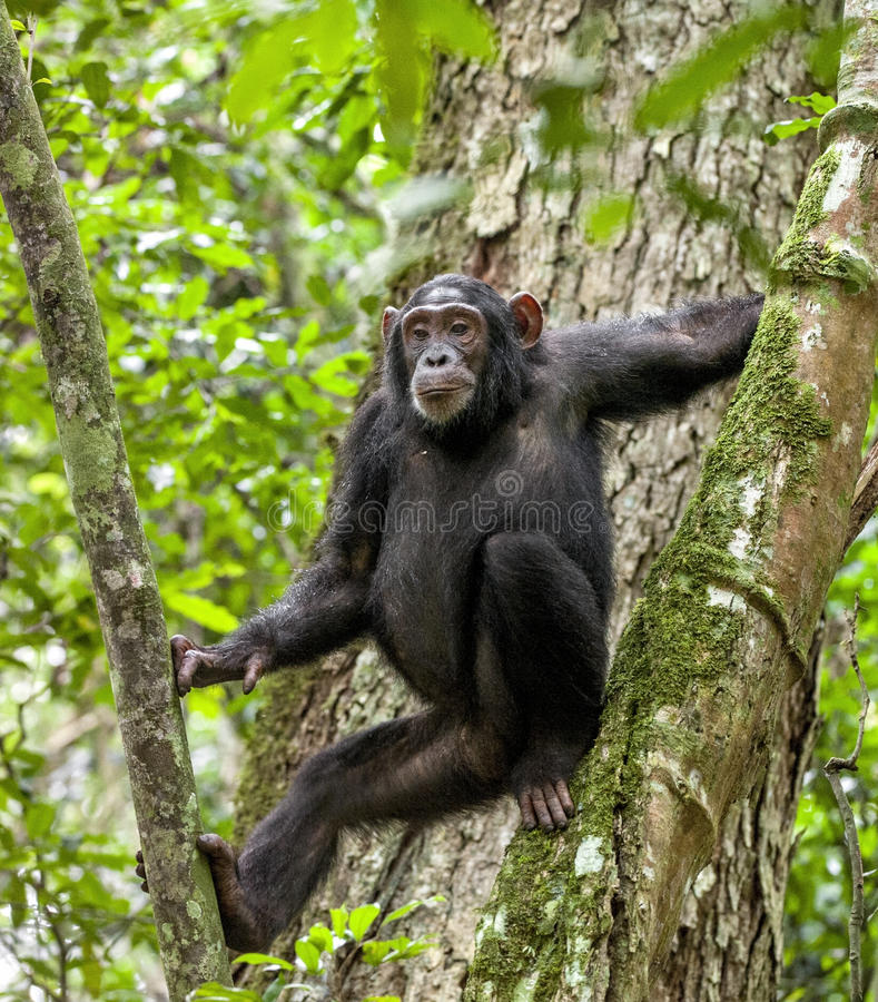 Chimpanzee ( Pan troglodytes ) resting on the tree in the jungle. Kibale forest in Uganda. Africa royalty free stock images