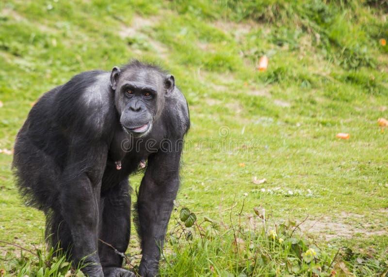 Chimpanzee (Pan troglodytes). Spotted outdoors royalty free stock image