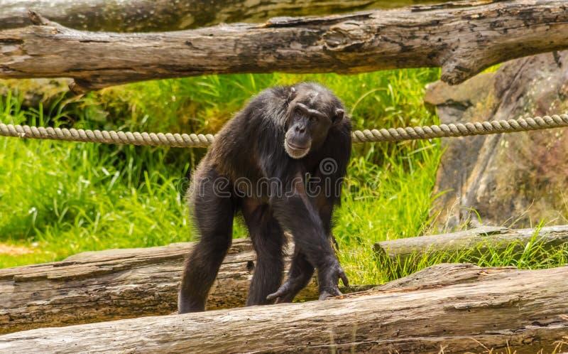 Chimpanzee. Pan troglodytes at a zoo royalty free stock photo