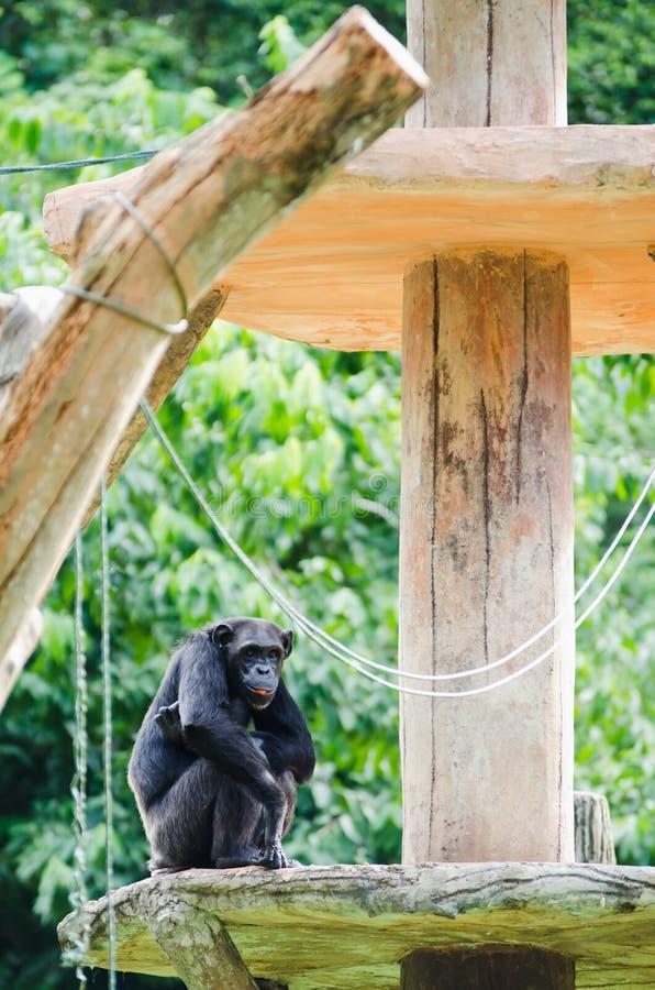 Chimpanzee On Platform Stock Photo