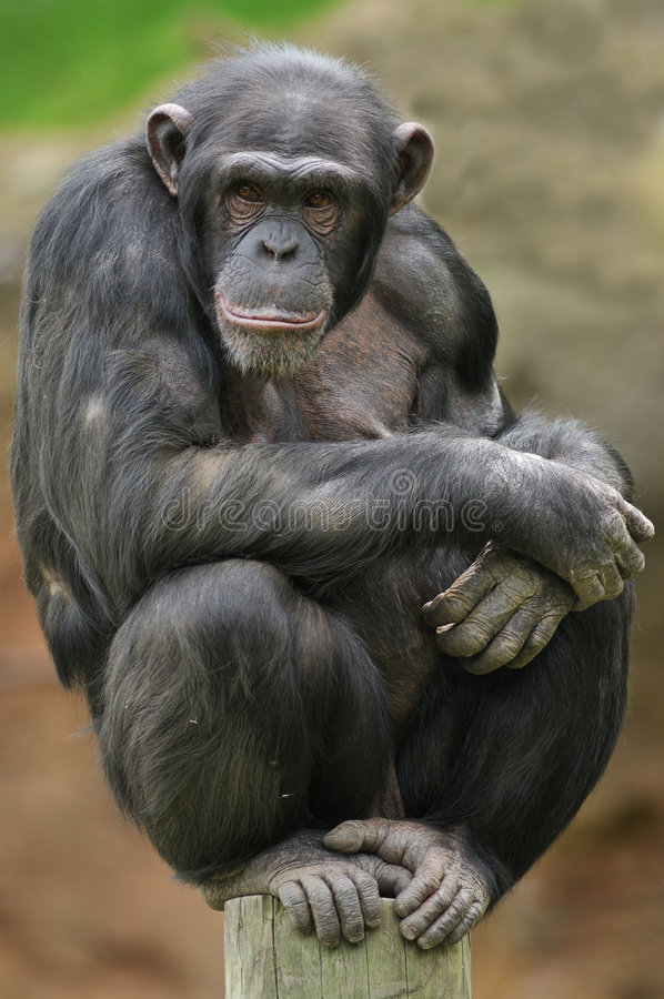 Download Chimpanzee Portrait stock image. Image of mammal, rest - 5437923