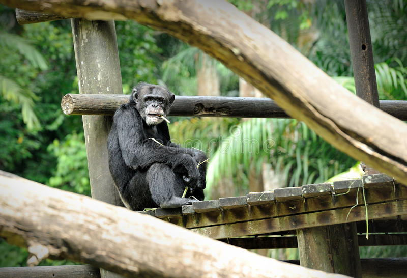 Chimpanzee Pose Outdoors Royalty Free Stock Photo