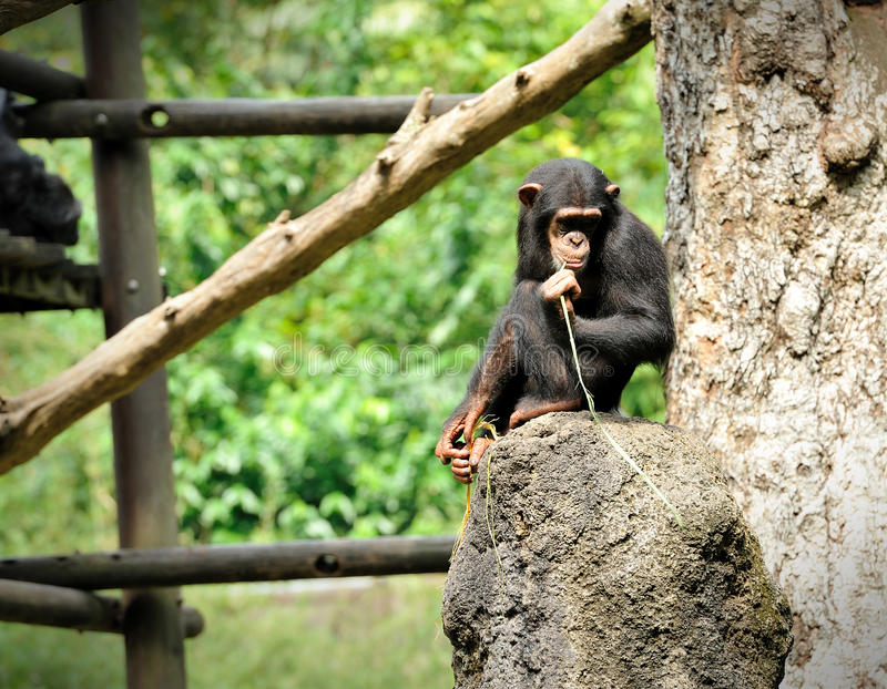 Download Chimpanzee pose outdoors stock image. Image of think - 34327405