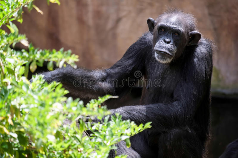 Chimpanzee resting. In the Bioparc Fuengirola stock photo