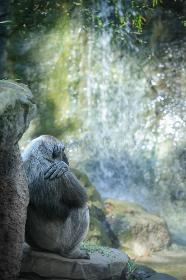 Chimpanzee resting in front of waterfall stock photography