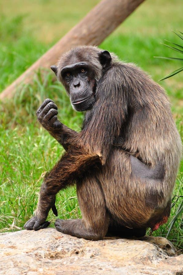 Chimpanzee. stock images