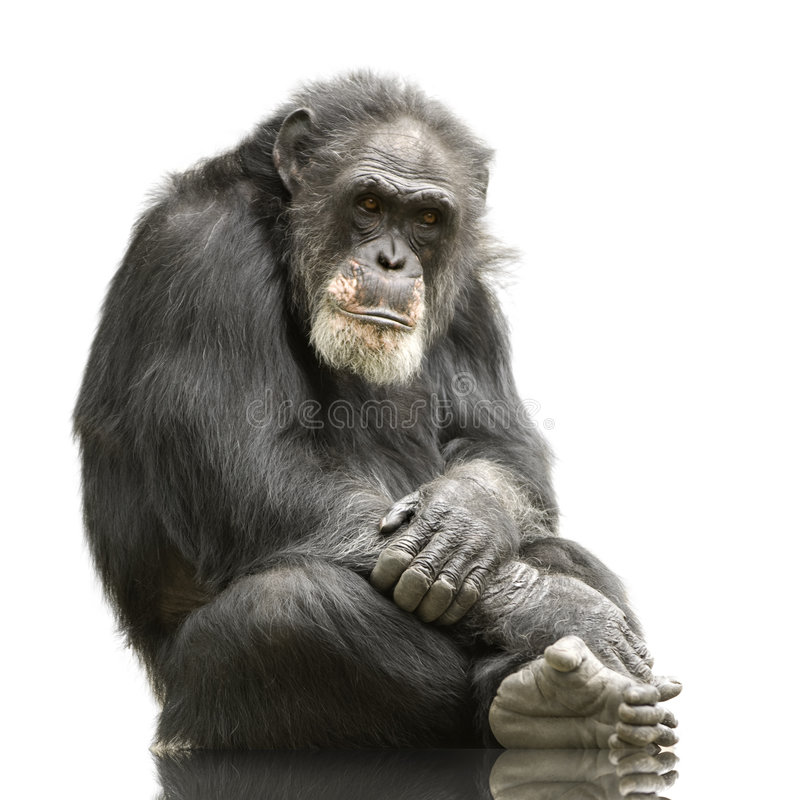 Chimpanzee - Simia troglodytes royalty free stock image