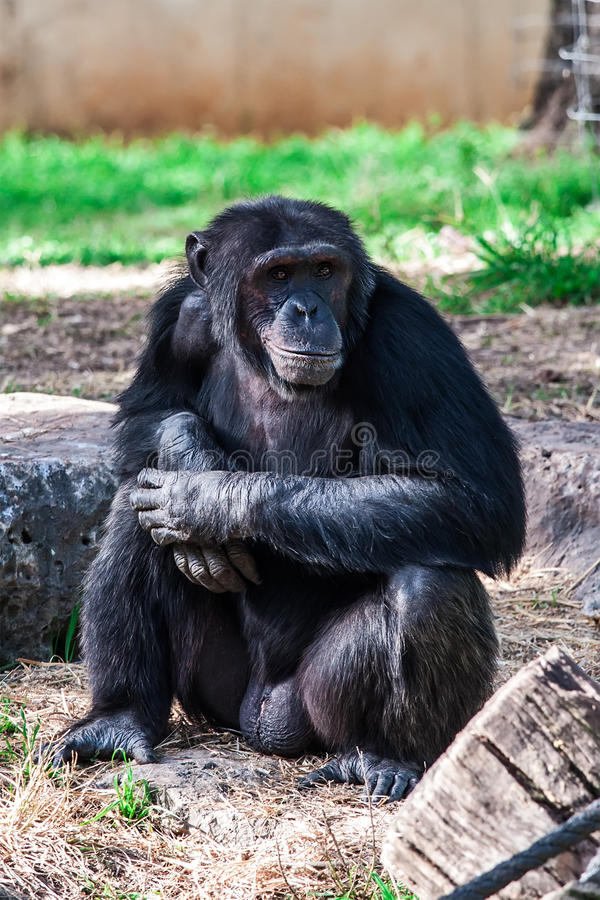 Download Chimpanzee stock photo. Image of mother, animal, furry - 33299016