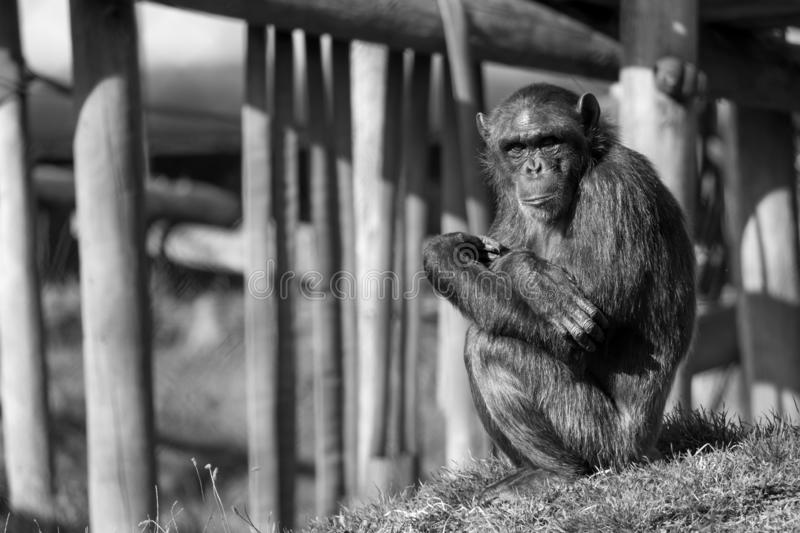 Chimpanzee sitting on its own and looking straight at the camera at Monkey World Ape Rescue Centre in Dorset, UK. Chimpanzee sitting on its own and looking stock images