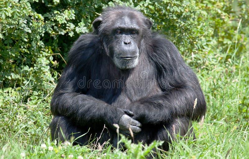 Full Length Of Chimpanzee Sitting On Tree Stump High-Res ...  |Chimp Sitting