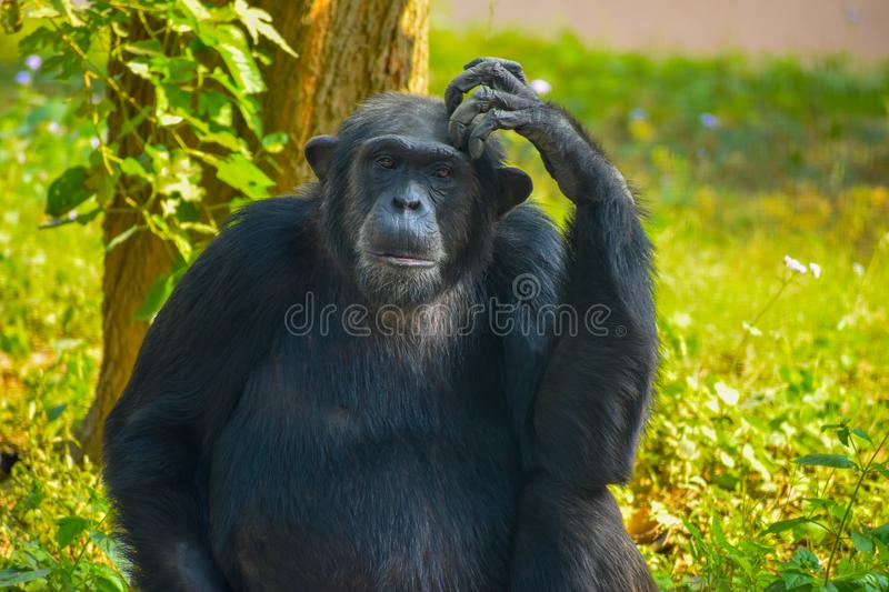 Chimpanzee sitting and thinking about something. Clicked in Lucknow Zoo. The chimpanzee is thinking about something. i was there for half an hour and this stock images