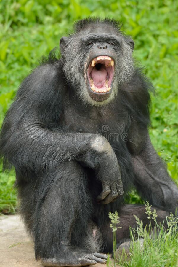 Chimpanzee Standing with Mouth Open. Portrait of a captive chimpanzee Pan trodglodytes with mouth open royalty free stock image