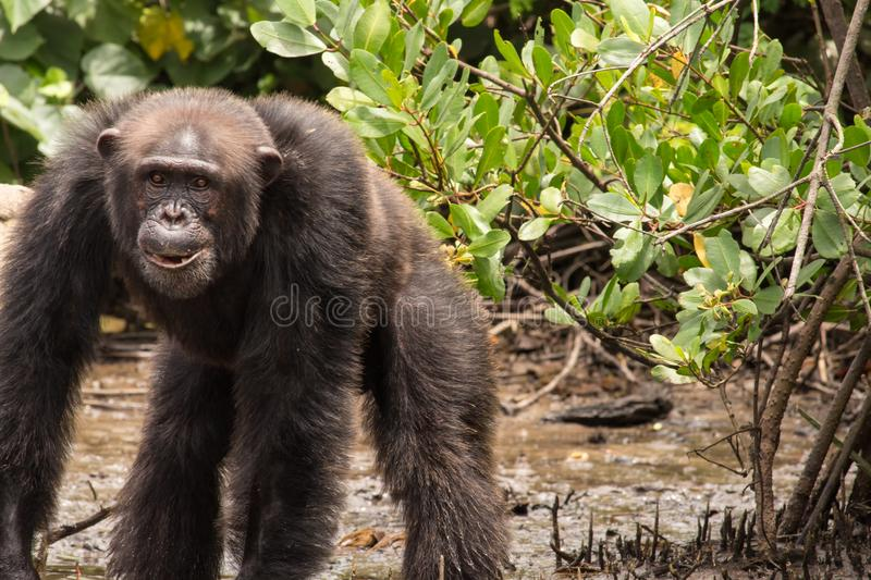 Chimpanzee standing in mud. A chimpanzee stands in the mud at the waters edge on Monkey Island in Liberia royalty free stock photo