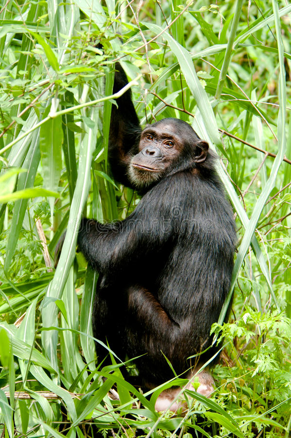 Download Chimpanzee stare stock image. Image of feeding, rainforest - 28353951