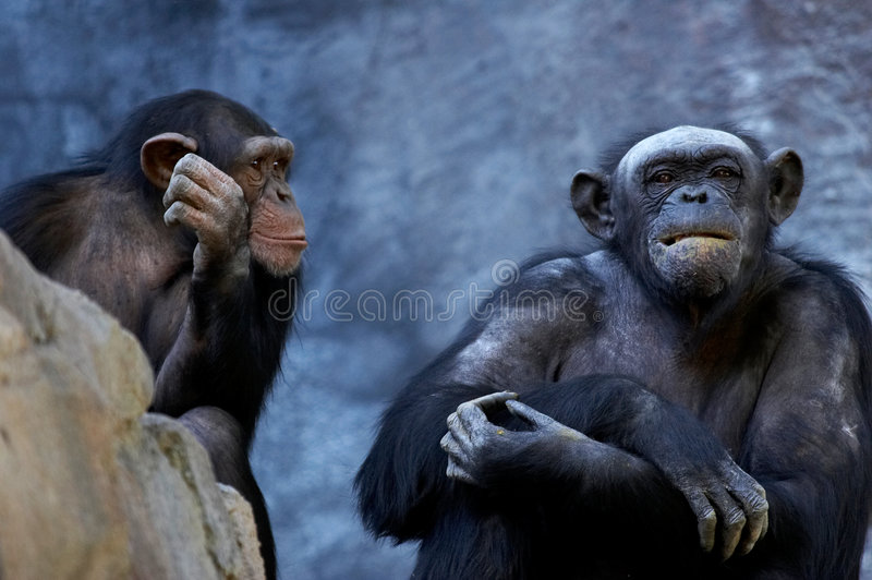 Chimpanzee talking. Two adult chimps talking and thinking