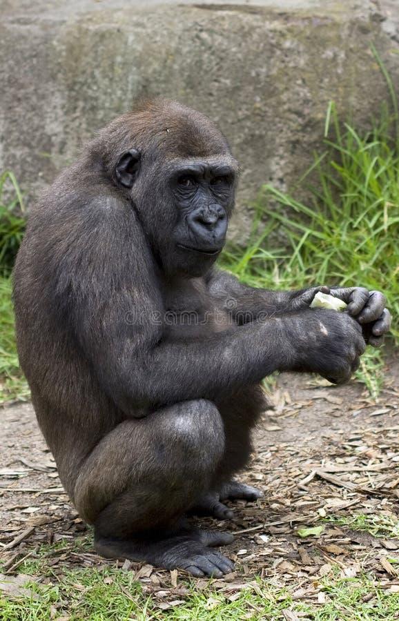 Download Chimpanzee at Taronga Zoo stock photo. Image of cute, grass - 7916388
