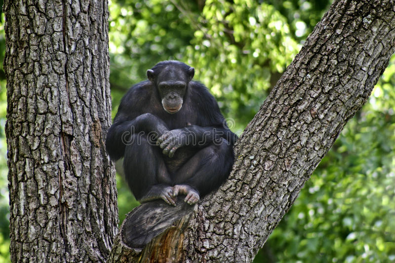 Chimpanzee In The Tree Royalty Free Stock Photo