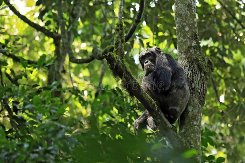 Chimpanzee in Tree royalty free stock photography