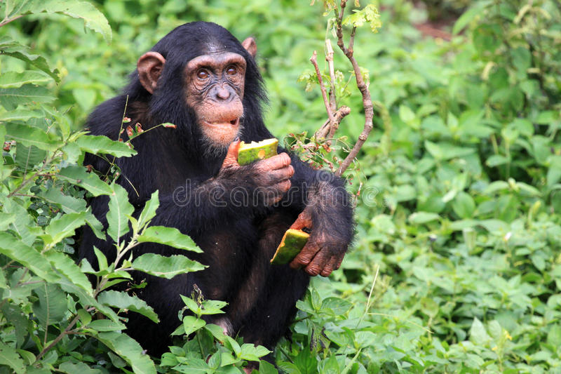 Chimpanzee - Uganda royalty free stock photos