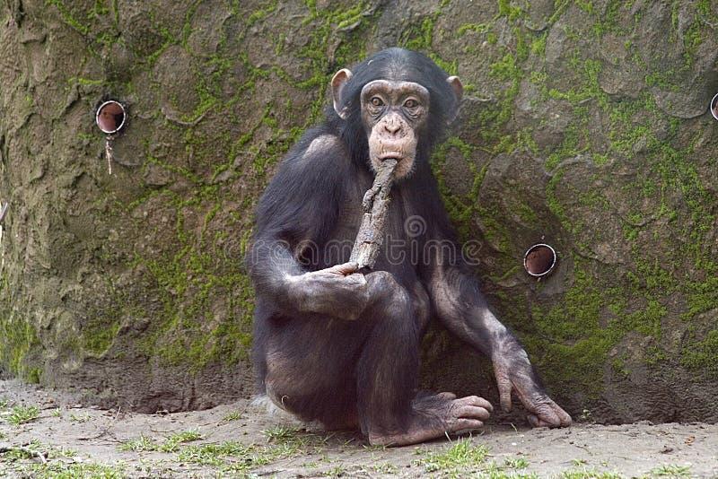 Chimpanzee using tool royalty free stock photography