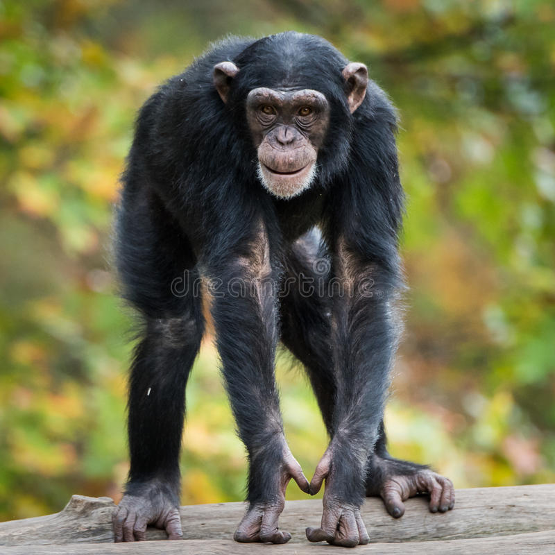 Chimpanzee XII. Frontal Portrait of Young Chimpanzee stock photos