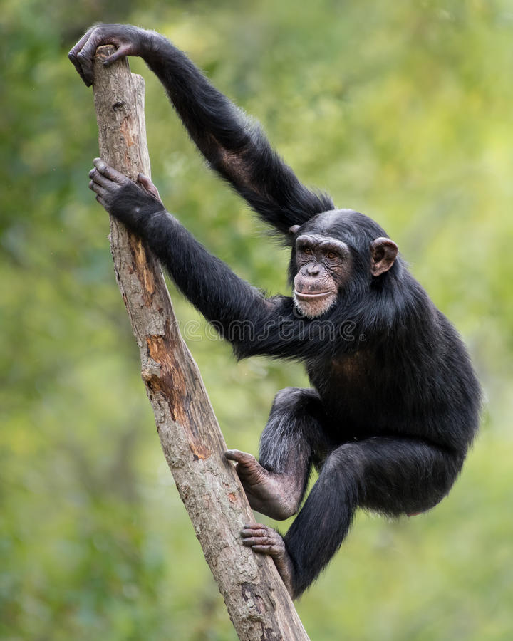 Chimpanzee XIX stock photography