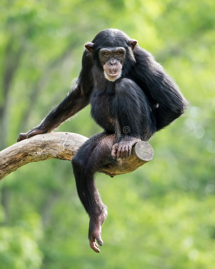 Chimpanzee XXIII. Frontal Portrait of a Young Chimpanzee Relaxing on a Tree Branch royalty free stock image