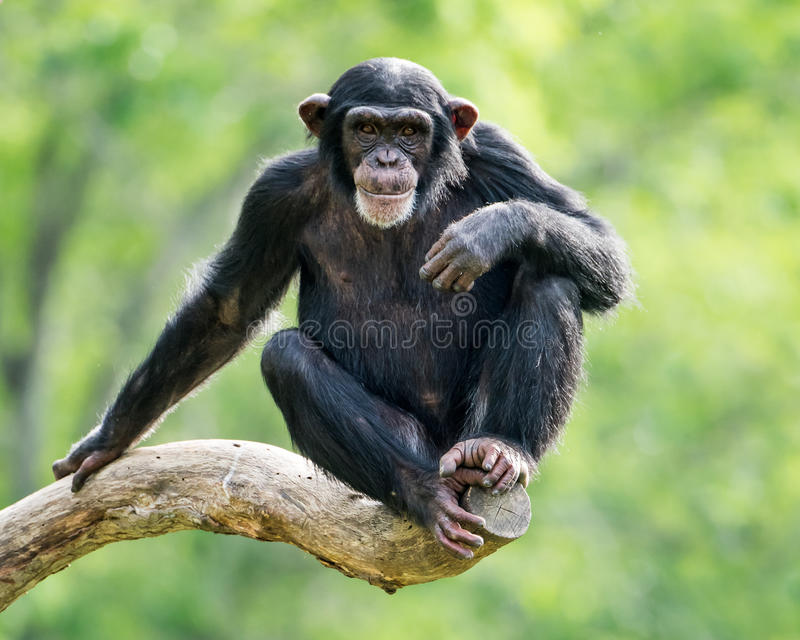 Chimpanzee XXVI. Frontal Portrait of a Young Chimpanzee Relaxing on a Tree Branch stock photography