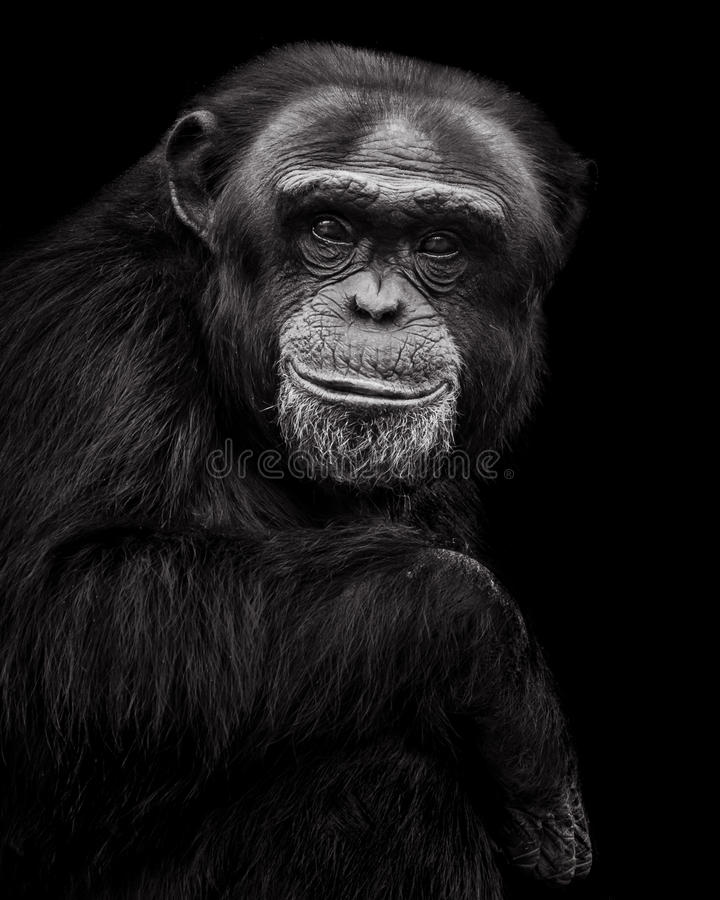 Chimpanzee XXVII royalty free stock photos