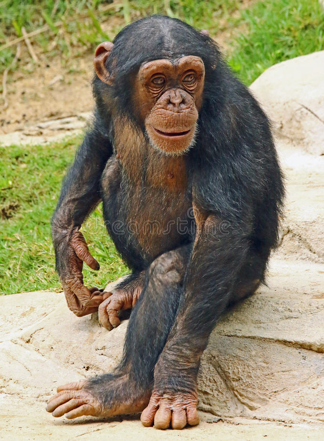 Chimpanzee. Young chimp alone with puzzled look royalty free stock photo