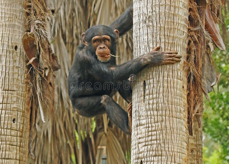 Chimpanzee. Young chimp up a palm tree stock images