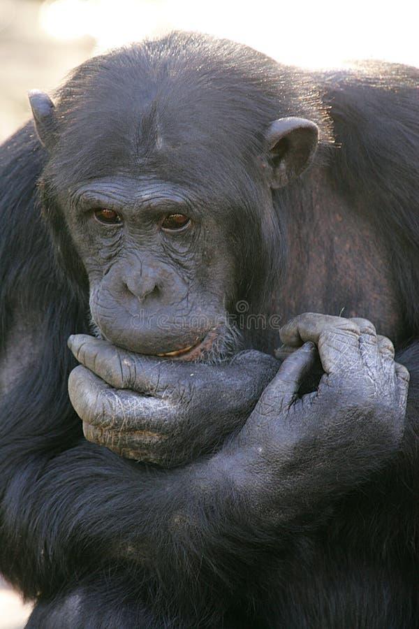 Free Chimpanzees Royalty Free Stock Photography - 7322217