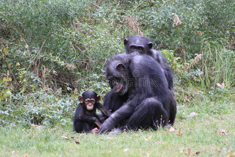 Chimpanzees. Chimp family in grassy habitat stock photography