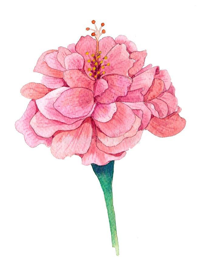 Chinês Rosa, hibiscus chinês ilustração do vetor