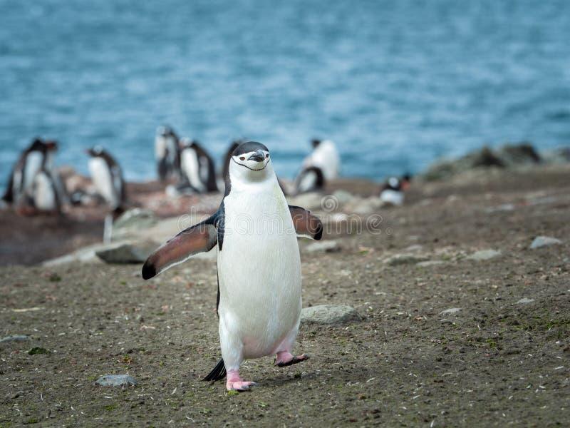 Chin Strap Penguin in isole Shetland del sud Antartide immagini stock