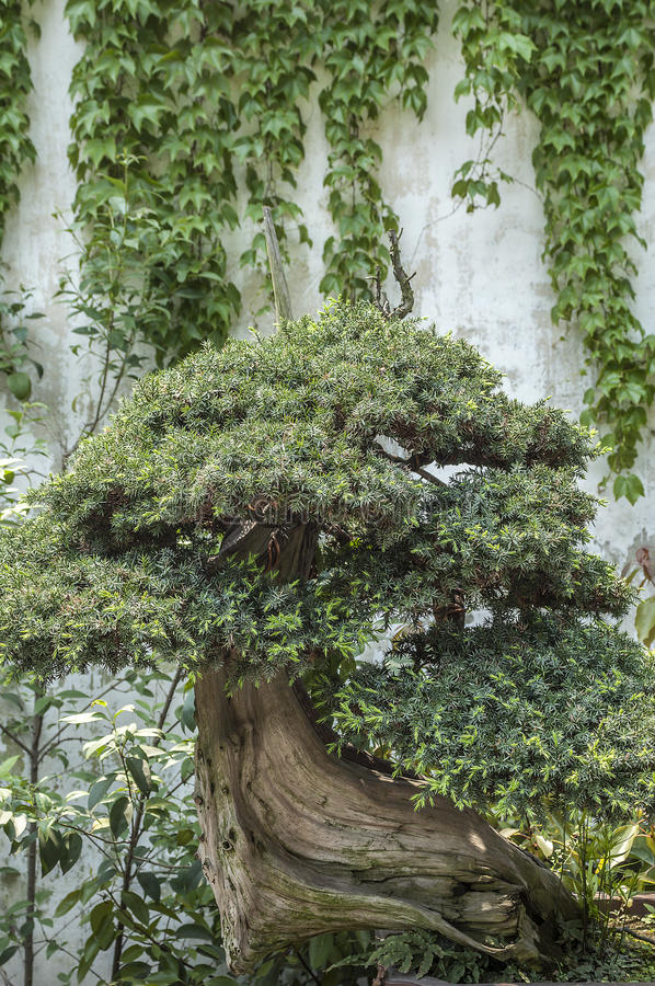 Download China, The Amazing Beauty Of The Art Of Bonsai. Stock Image   Image
