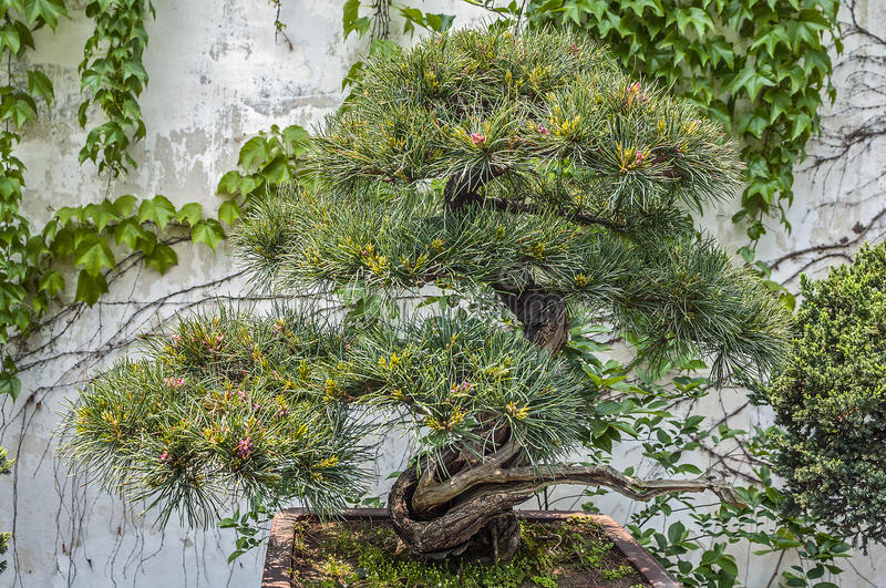 Download China, The Amazing Beauty Of The Art Of Bonsai. Stock Photo   Image