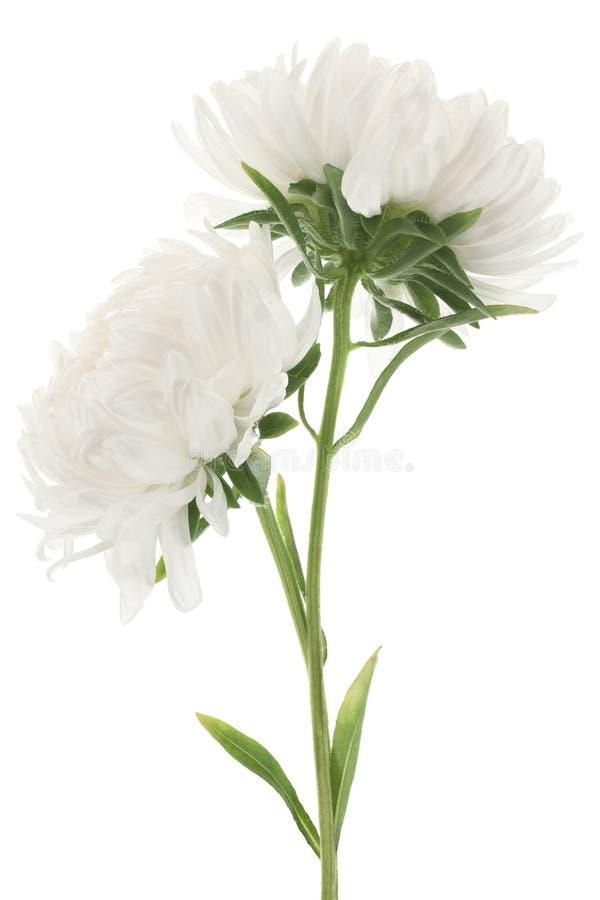 Download China aster stock image. Image of flowering, bloom, macro - 17067327