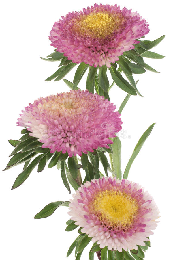 China Aster Stock Image