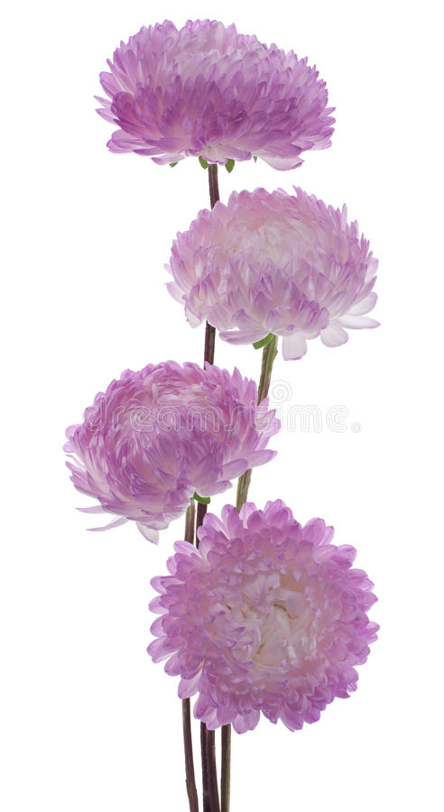 Download China aster stock photo. Image of callistephus, pink - 21458084