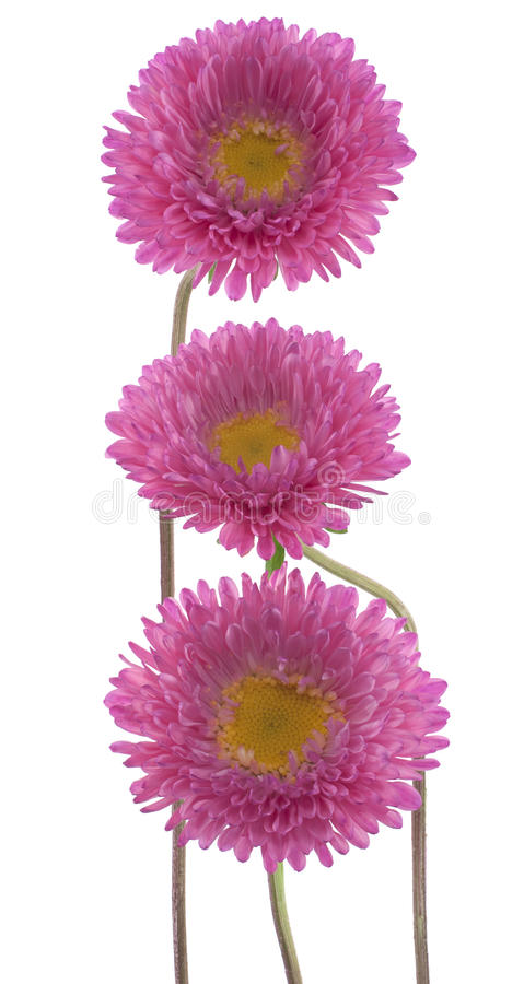 Download China aster stock photo. Image of bunch, head, shot, floral - 21921860