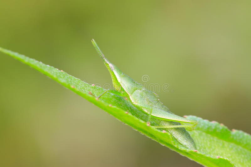 China atractomorpha locust. A china atractomorpha locust on the green leaf stock photos