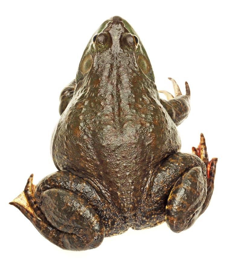 China Bullfrog. Isolated on white background royalty free stock photo