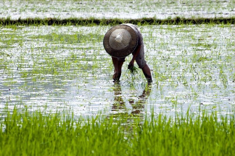 China - fazendeiro no campo do arroz fotografia de stock